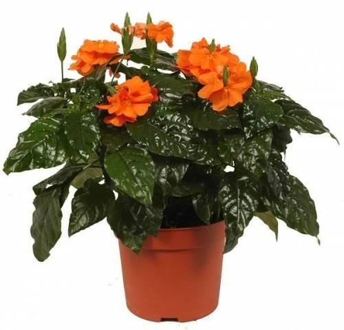цветок королевская бегония: moi-begonii.ru/begonia/vremya-cveteniya-begonii.html