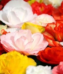 Бегония. цветы как. ухаживать