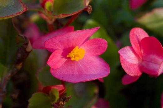 Цветы бегония клубневая уход