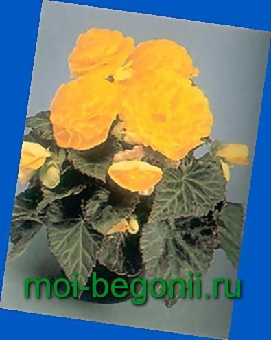 бегония ампельная выращивание из семян в домашних условиях