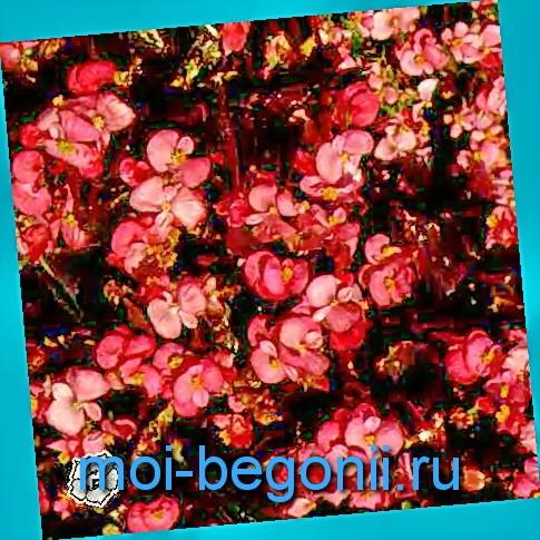 БЕГОНИИ - Бегония коралловая фото: http://moi-begonii.ru/foto-begonii/begoniya-korallovaya-foto.html