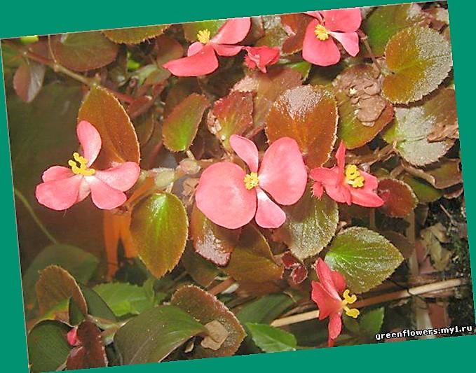Растение бегония размножение фото