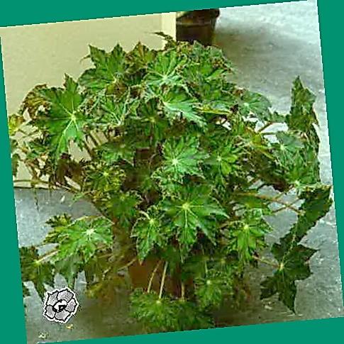 Бегония лиственная фото